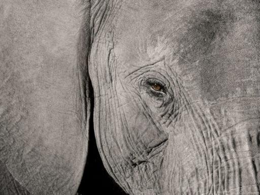słoń w kolorze szarym